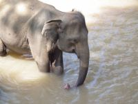 Pinnawela - sierociniec,  ostoja słoni