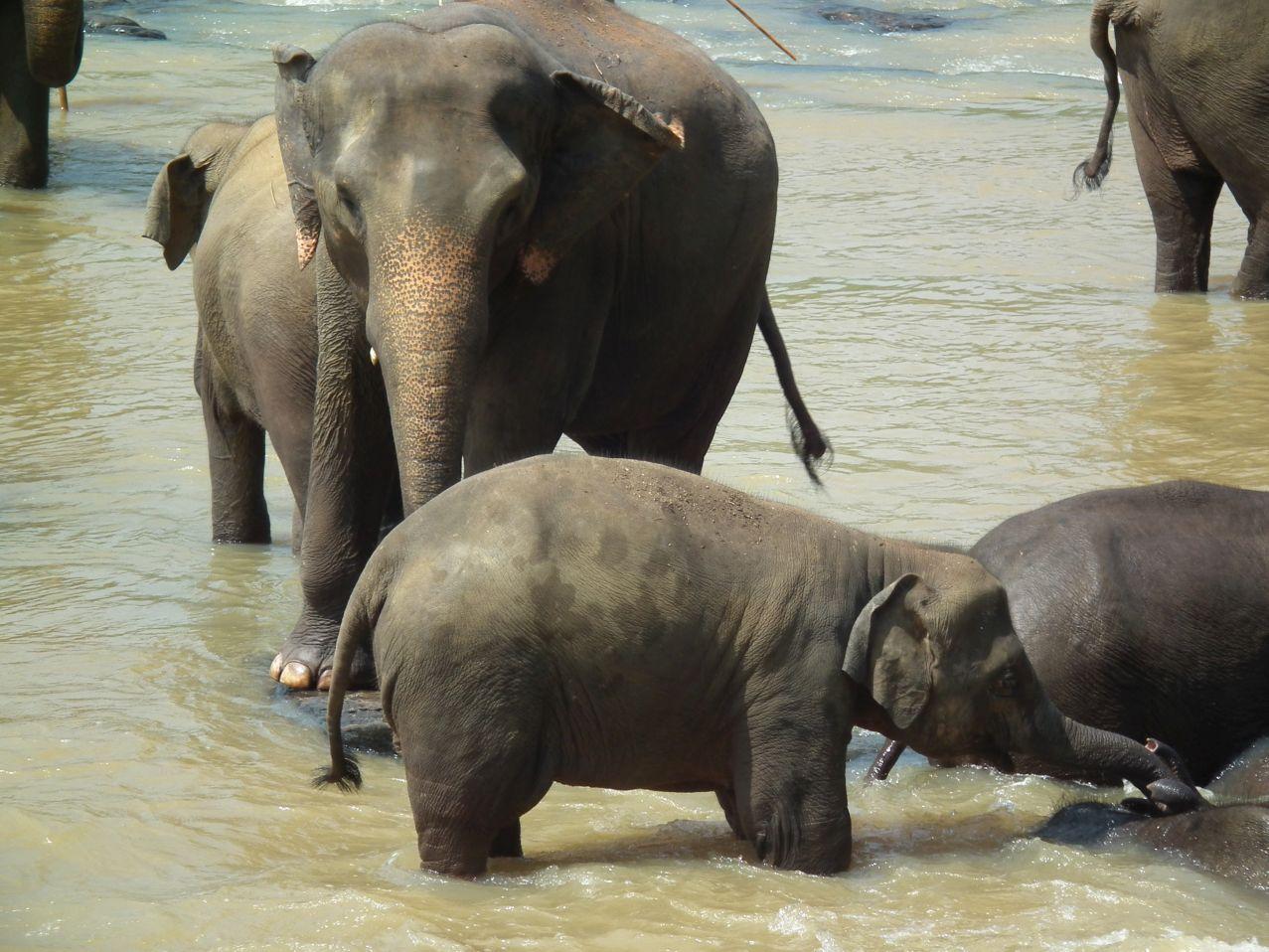 Kąpiel słoni, Pinnawela