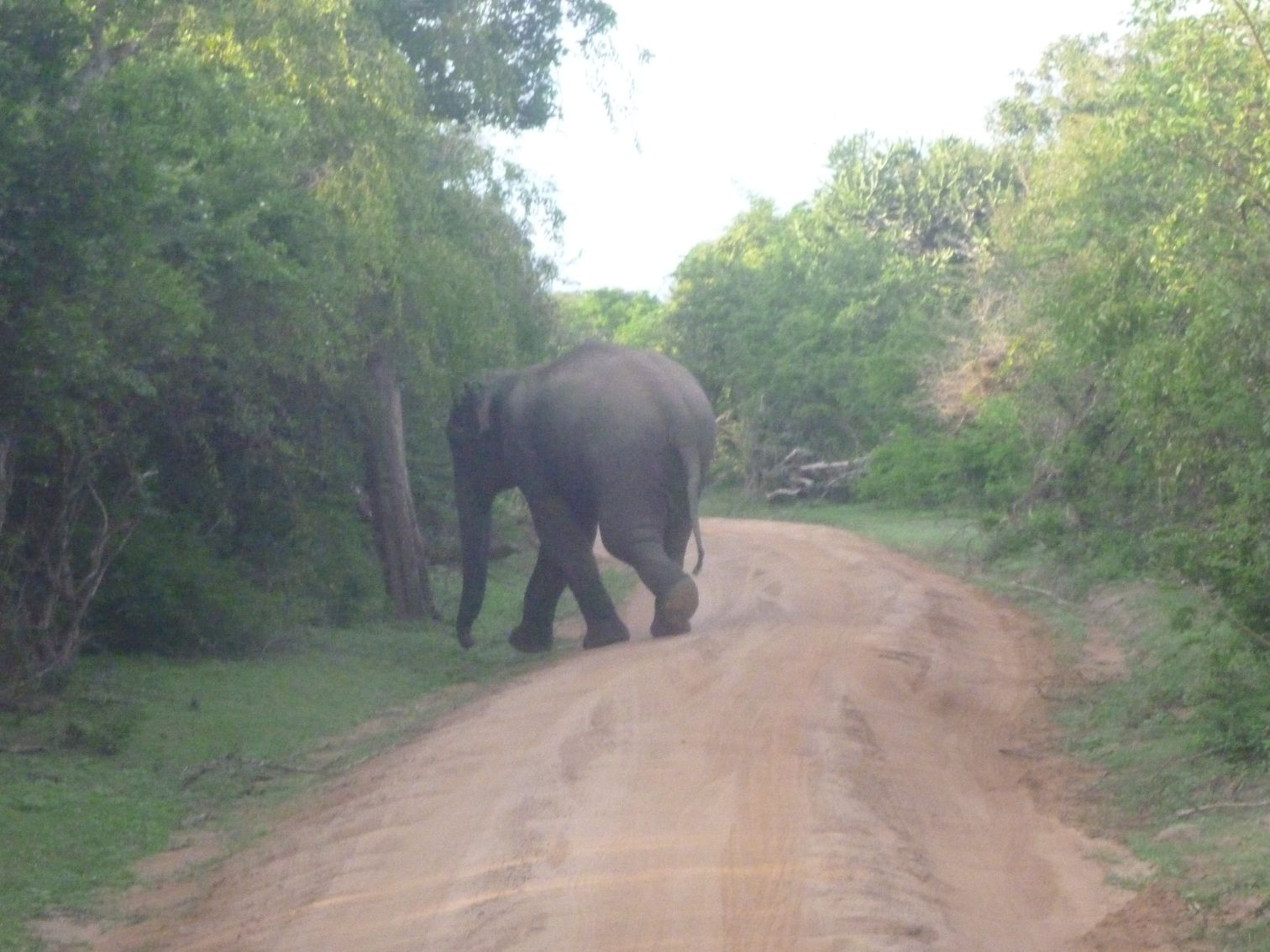Przebiegający przez drogę parku dziki słoń