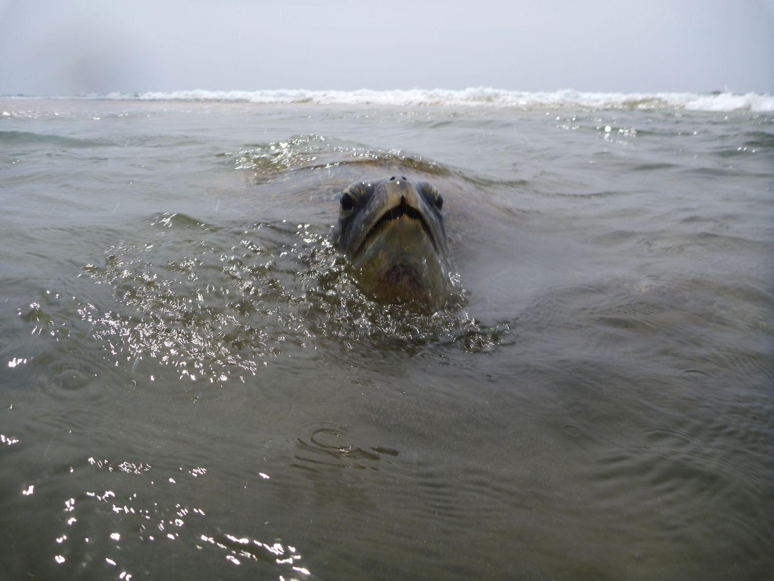 Żółw co jakiś czas też musi zaczerpnąć powietrza